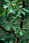 Madrone tree (Arbutus menziesii) leaves. Shaw Island, Washington.