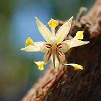 Flor del Cacao en la selva de Birongo, Edo. Miranda. Venezuela