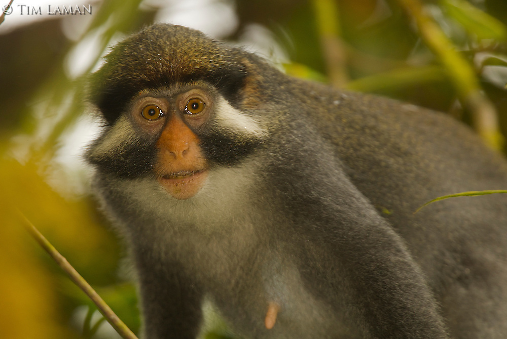 Red-eared Guenon (Cercopithecus erythrotis erythrotis) female. Endemic subspecies to Bioko Island.  Endangered Species (IUCN Red List: VU)