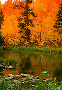 Fall Color in the Sierra Reflected in Stream