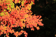 Maple leaves in various shades radiate the morning sunlight in northern Michigan.
