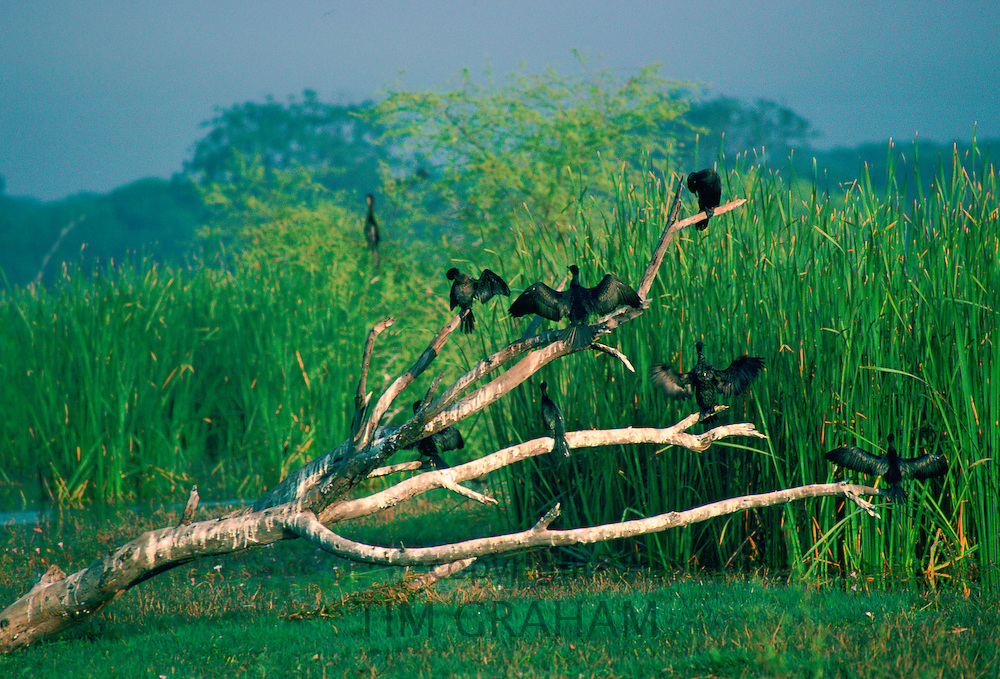 Cormorants perched on branches  at Bharatphur Nature Reserve - a hunting reserve fo Bharatpur's Maharajas.