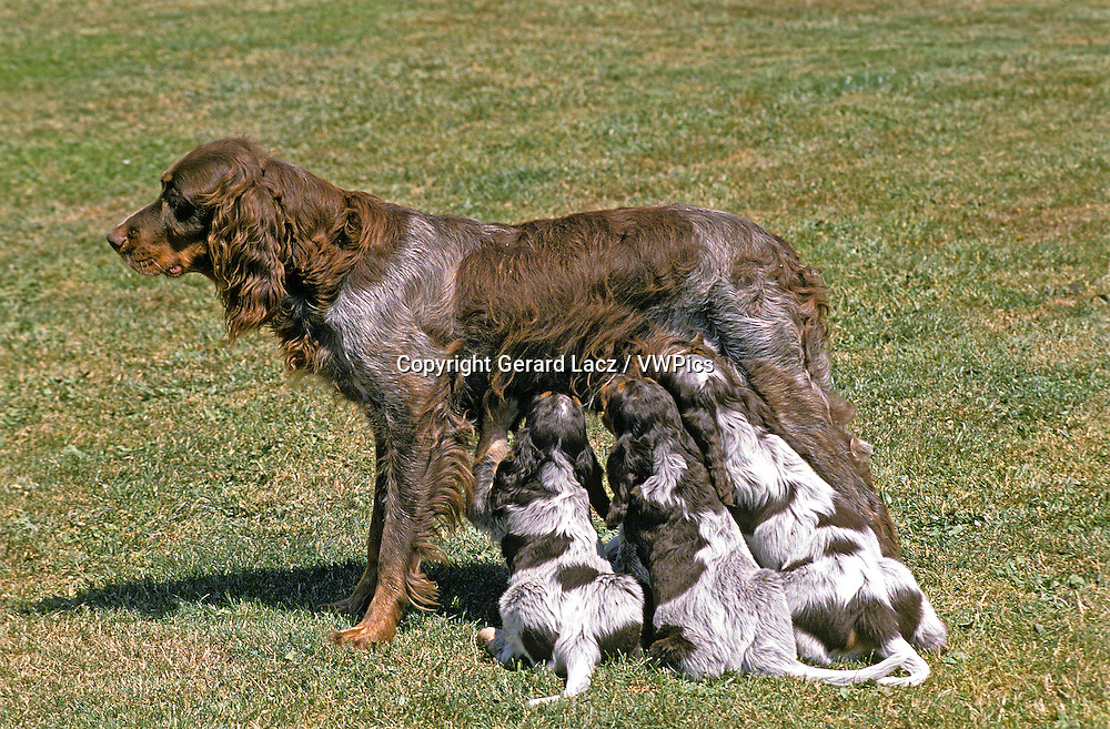Picardy Spaniel Dog, Female with Pup suckling