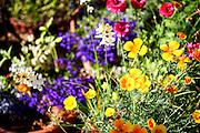 flowering garden. Yellow and purple blooming flowers