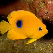 Rock Beaudy juveniles inhabit reefs and surrounding areas, usually hiding in recesses in reef in Tropical West Atlantic; picture taken St. Vincent.