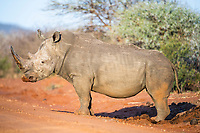 White Rhino bull at dung midden, Madikwe Game Reserve, North West Provonce, South Africa