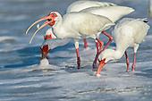 White Ibis (Eudocimus albus) & Glossy (Plegadis falcinellus)