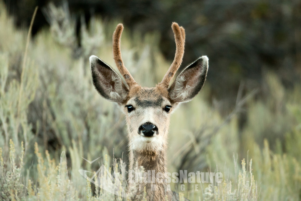 A young Mule Deer buck peaks its head over the top of tall sagebrush always alert to danger.