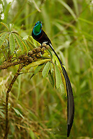 Stephanie's Astrapia Bird of Paradise (Astrapia stephaniae).adult male feeding at fruits of Shefflera plant.