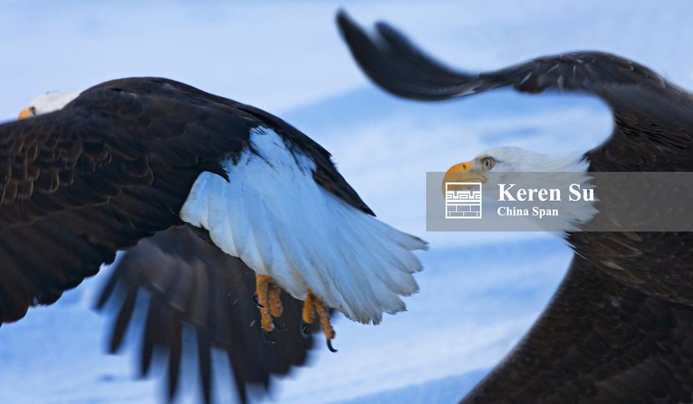 Bald Eagles (Haliaeetus leucocephalus) flying, Alaska, US