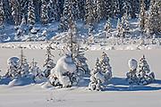 Small coniferous trees in snow, Kootenay National Park, British Columbia, Canada