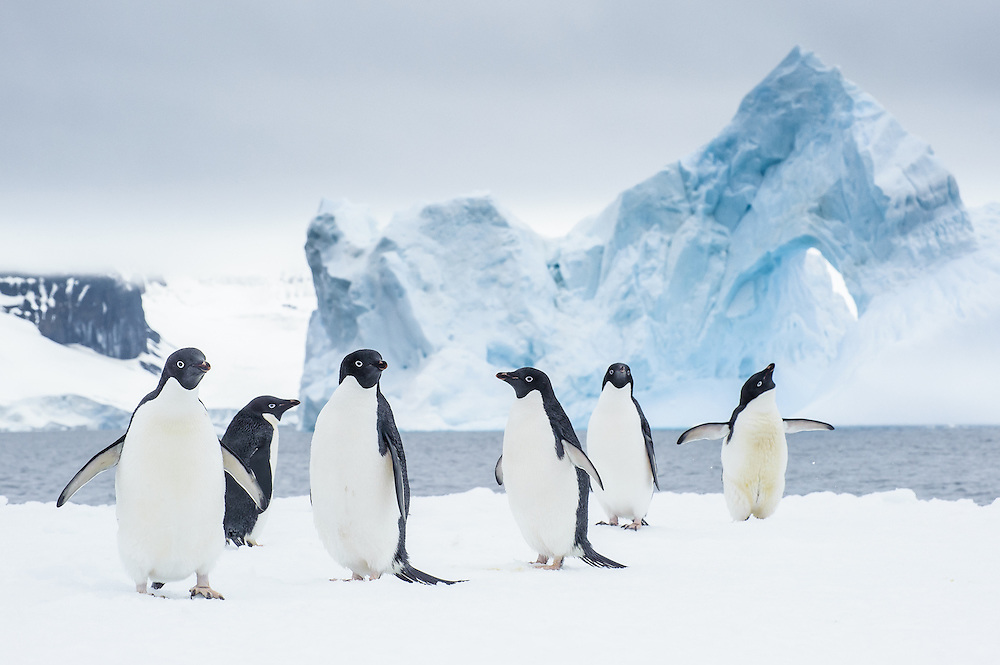 A group of Adelie Penguins (Pygoscelis adeliae) hangs around in an iceberg. Antarctic Peninsula