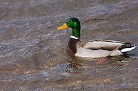 Mallard Duck (Anas platyrhynchos)  male swimming in a lake.  Male:  Iridescent green head; yellow bill; chestnut breast.