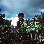 Haitian agriculturalists graft fruit trees as part of a US AID sponsored reforestation project.
