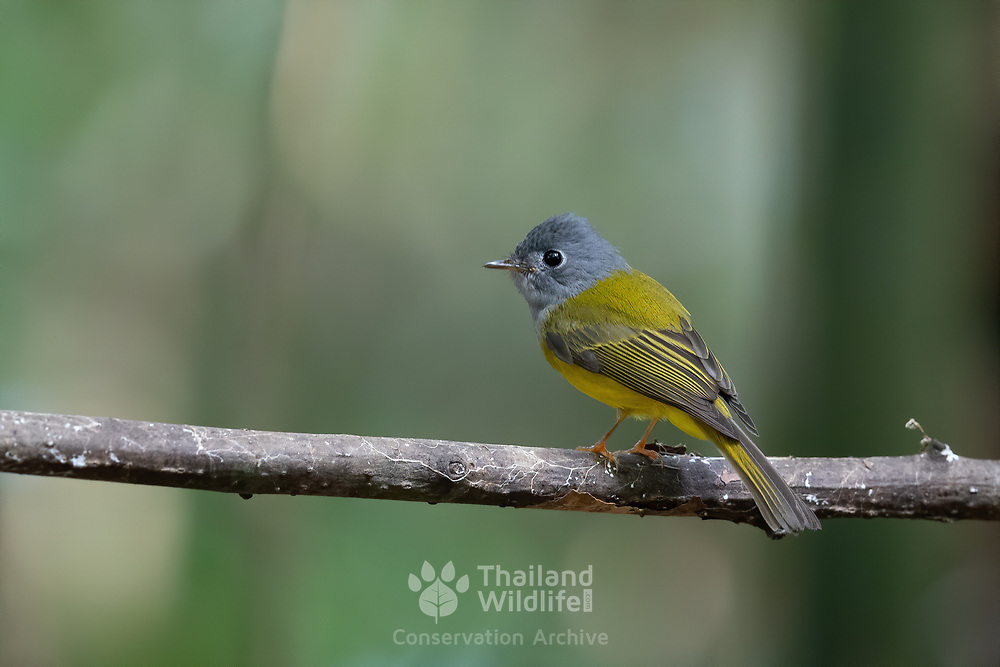 The grey-headed canary-flycatcher (Culicicapa ceylonensis), sometimes known as the grey-headed flycatcher, is a species of small flycatcher-like bird found in tropical Asia. It has a square crest, a grey hood and yellow underparts.