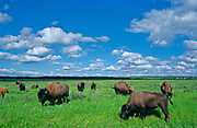 herd of American plains bison grazing on fescue prairie <br />Riding Mountain National Park<br />Manitoba<br />Canada