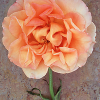 Single pale orange and cream and pink bloom of Rose or Rosa Sallys lying with its stem on marbled slate with pink tone