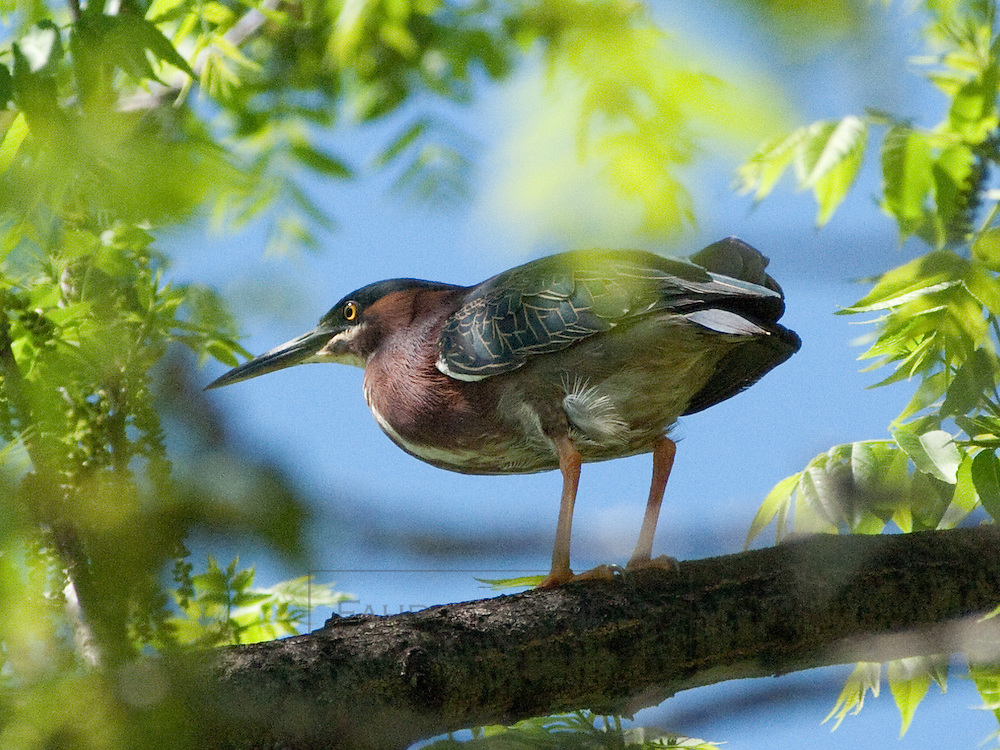 Green Heron near Lake Nokomis perched in a Tree with a careful eye on a nearby photographer.