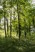Woodland trees in late Spring / early Summer in the Gloucestershire Cotswolds, UK