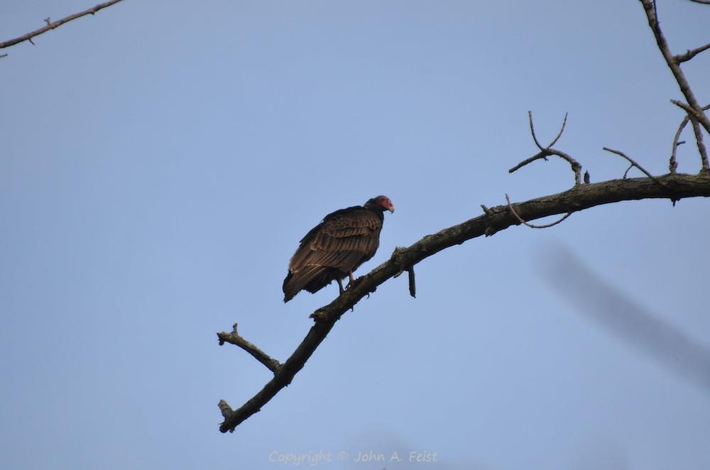 A turkey buzzard sitting on a branch in early spring in Hillsborough, NJ