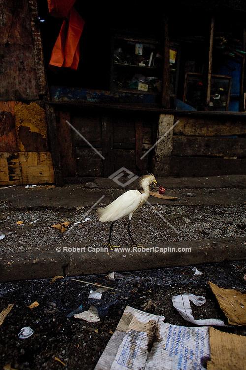 Alcatraz birds loom on the corrugated-tin roofs in Basurto market near Cartagena, Colombia...Photo by Robert Caplin.