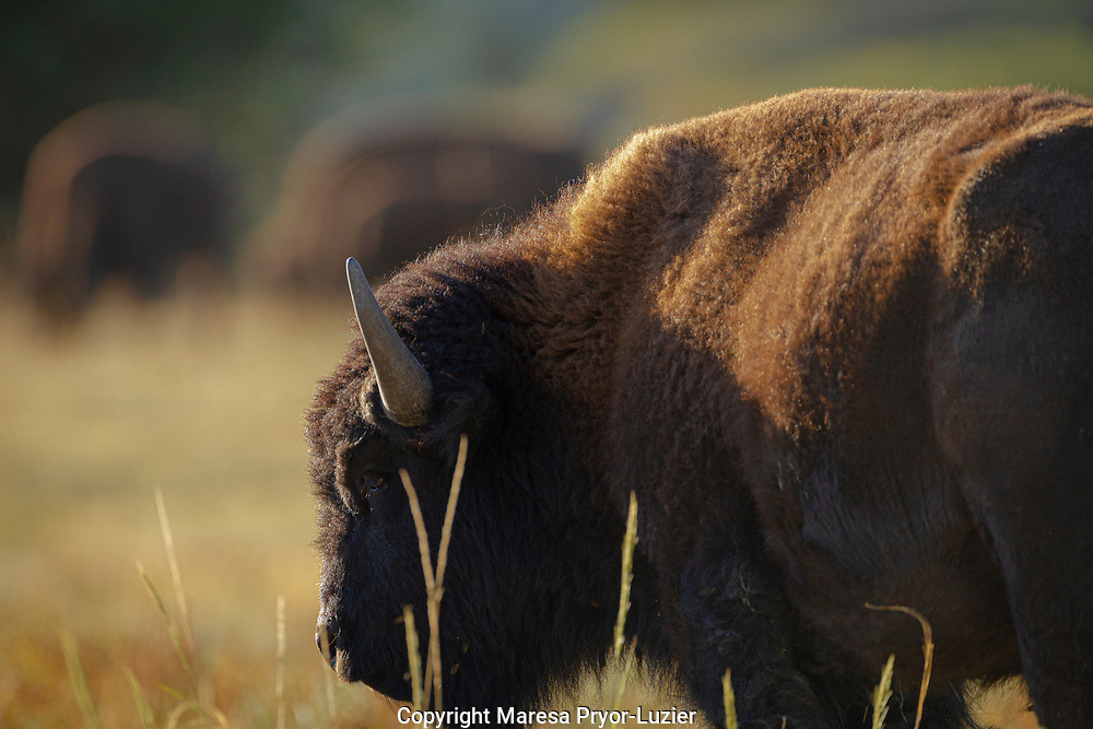 Wild American Buffalo, Bison americanus, Philmont Scout Ranch in Cimarron, NM
