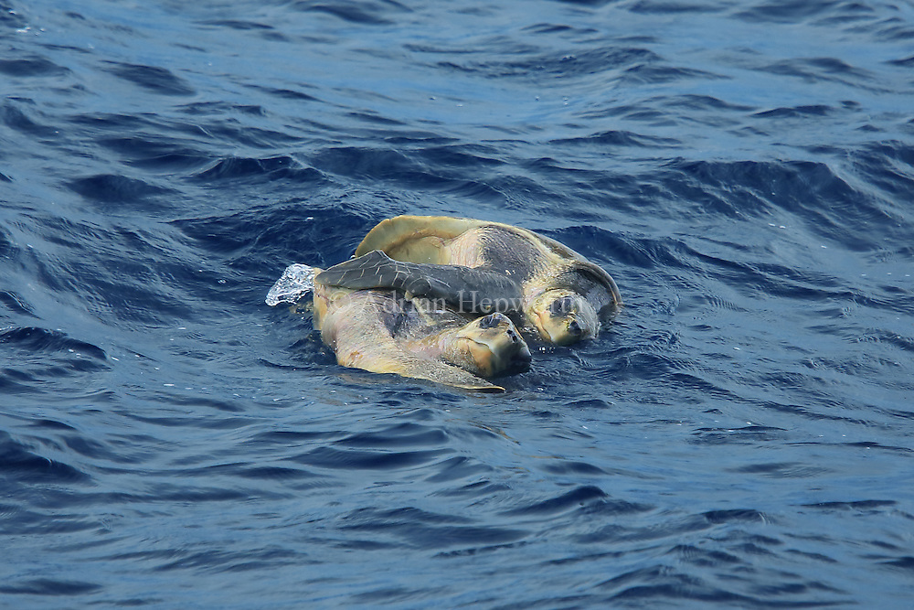 Olive ridley turtles (Lepidochelys olivacea) mating in the ocean. Near papagayo Peninsula, Guanacaste, Costa Rica.