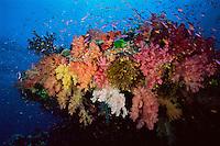 Anthiases swimming around an outcrop covered in multi colored soft corals. Primarily Slender Anthias (Luzonichthys waitei) and Lyretail Anthias (Pseudanthias squamipinnis) .Namena Island, Fiji.  Oct 03