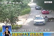 BEIJING, CHINA - JULY 23: (EDITORS NOTE: This is a frame grab taken from a footage) <br /> <br /> Two Women Attacked By Tigers In Beijing Wildlife Park<br /> <br /> A man steps out of his car as his wife is attacked by a tiger at Badaling Safari World on July 23, 2016 in Beijing, China. A woman was attacked by a Siberian tiger after she stepped out of her car during a tour in the park on Saturday, and the woman\'s husband and mother immediately rushed out of the car and tried to help her. And according to the local media, the woman was seriously injured and her mother was mauled to death. <br /> ©Exclusivepix Media