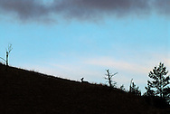Mule Deer Doe (Odocoilenus hemionus) lies on hillside, silhouette
