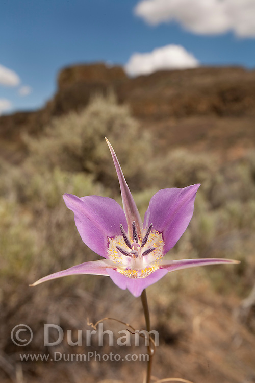 A wild mariposa lily (Calochortus macrocarpus) at The Nature Conservancy's Whisper Lake Preserve, central Washington.