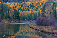 Autumn larch trees reflect into McDonald Creek in Glacier National Park, Montana, USA