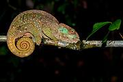 O'Shaughnessy's chameleon (Calumma oshaughnessyi, female) from Ranomafana NP, eastern Madagascar.