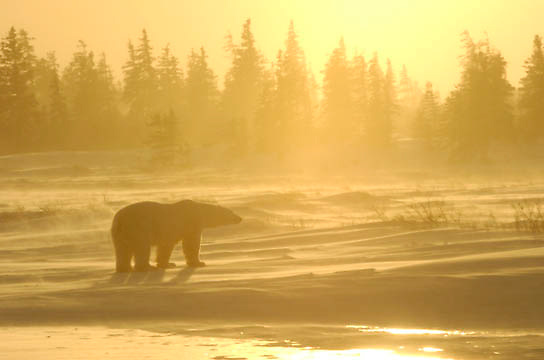 Polar Bear (Ursus maritimus) Near Cape Churchill, Manitoba. Canada. Winter.