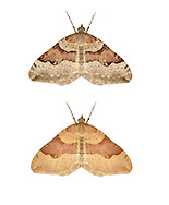70.048 (1723)<br /> Red Carpet - Xanthorhoe decoloraria<br /> top= normal form<br /> bottom = ssp. hethlandica