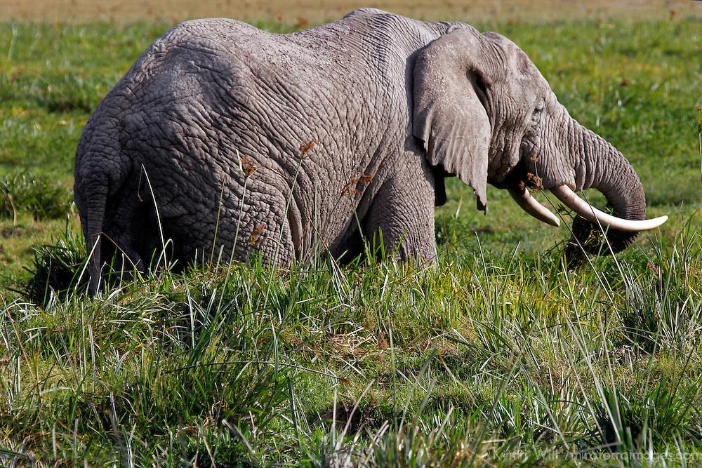 Africa, Kenya, Amboseli. Amboseli Elephant in marsh.