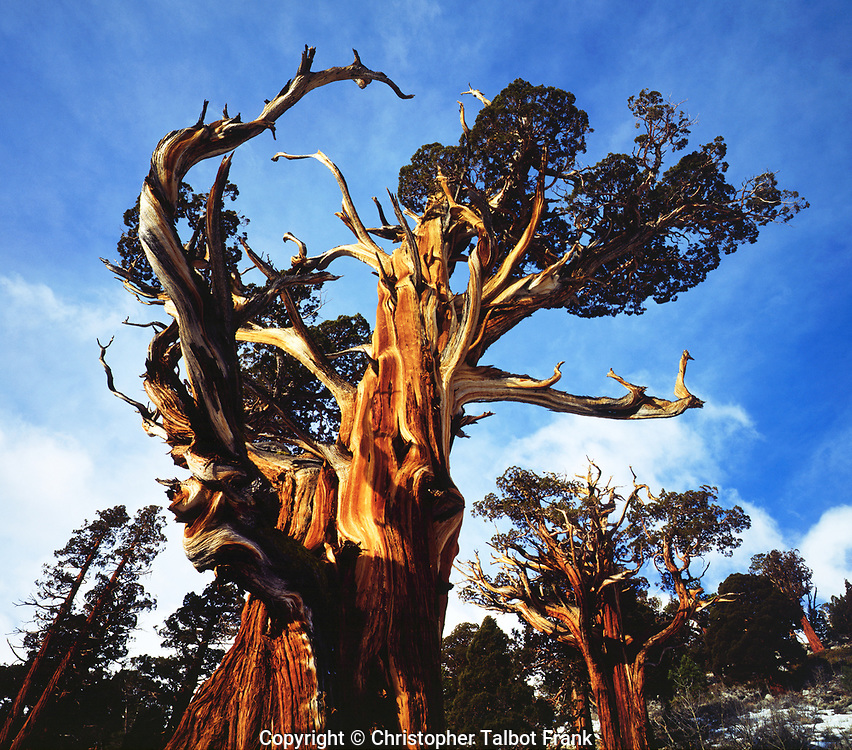 USA; California; Sierra Nevada Mountains. Old Growth Juniper trees in the High Sierra