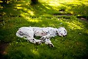 """English Setter Welpe """"Rudy"""" schläft am 03.06. 2017 im Garten.  Rudy wurde Anfang Januar 2017 geboren und ist gerade zu seiner neuen Familie umgezogen."""