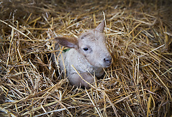 © Licensed to London News Pictures. 08/01/2017. Fetcham, UK. A three day old lamb keeps warm on a bed of straw in a barn on Barracks farm. 80 ewes are expected to give birth to 80-90 lambs for the Easter market. The farm is owned by the Conisbee family who have  supplied their own butchers shops in nearby Horsley for over 250 years. Photo credit: Peter Macdiarmid/LNP