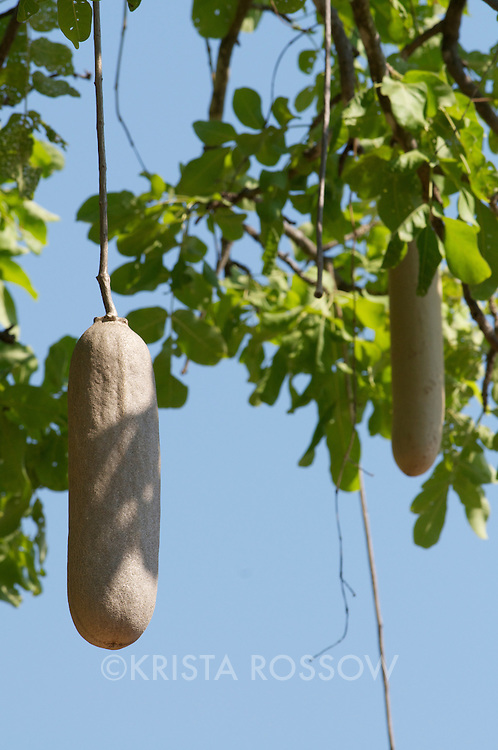 Sausage tree fruits hanging from vines.