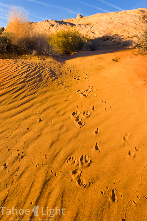Animal tracks in the sand dunes are part of the unique landscape of Valley of Fire state park in Southern Nevada about 2 hours outside of Las Vegas.