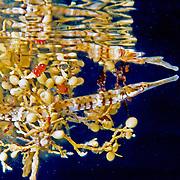 Sargassum Pipefish pelagic, inhabit floats of Sargassum in Tropical and Subtropical West Atlantic; picture taken Little Cayman.
