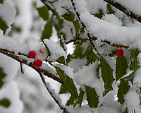 Red holly berries in snow. Late Autumn Backyard Nature in New Jersey. Image taken with a Nikon Df camera and 58 mm f/1.4 lens (ISO 100, 58 mm, f/5.6, 1/80 sec)