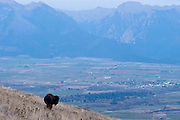 A bison looks over Mission Valley with the Mission Valley in the distance. Missoula Photographer, Missoula Photographers, Montana Pictures, Montana Photos, Photos of Montana