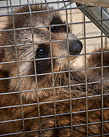 Raccoon in a Havahart trap. Image taken with a Leica CL camera and 60 mm f/2.8 lens (ISO 100, 60 mm, f/4.5, 1/250 sec).