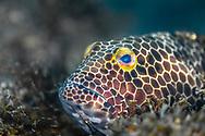 Snubnose grouper-Mérou Tapis (Epinephelus macrospilos), indian ocean, South Africa.