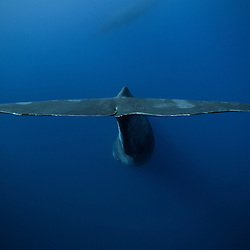 sperm whale, cachalot, fins, nageoire, physeter macrocephalus
