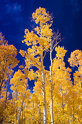 Fall aspen near Virginia Lakes, Humboldt-Toiyabe National Forest, California