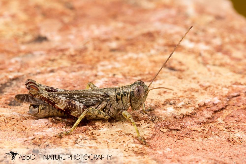 Pine Tree Spur-throat Grasshopper (Melanoplus punctulatus)<br /> United States: Alabama: Tuscaloosa Co.<br /> Tulip Tree Springs off Echola Rd.; Elrod<br /> 3-Sep-2016<br /> J.C. Abbott #2863