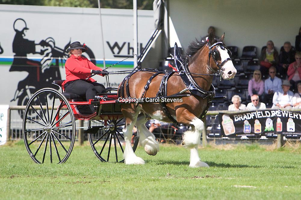 Margo McIntyre driving John McIntyre's Clydesdale, Bailey<br /> Winner  Ladies' Cart Class